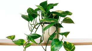 astonishing house plants pictures arrowhead vine flowering house