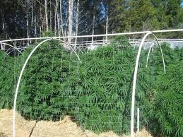 Pvc Pipe Trellis Monster Plants U2013 Marijuanagrowing Com