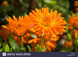 bright orange flowers of the annual pot marigold calendula stock