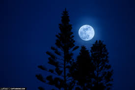 moon rise pine tree in palm florida