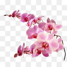 orchid flower orchid flower png vectors psd and icons for free pngtree
