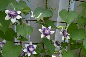 this week in the gardens clematis jun 22 wave hill blog