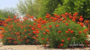 plants native to arizona summer blooming friends return ramblings from a desert garden