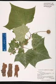 native south florida plants herbarium specimen details isb atlas of florida plants