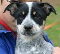 australian shepherd 3 weeks old pet rescue