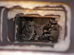what to do about a raccoon in your chimney effective wildlife