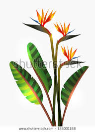 birds of paradise flower bird of paradise flower stock images royalty free images