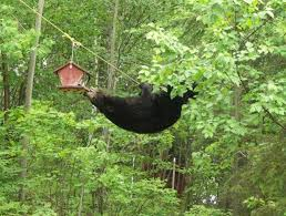 Vermont wildlife images How to avoid interactions with bears vermont public radio jpg