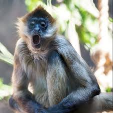 spider monkey facts history useful information and amazing pictures