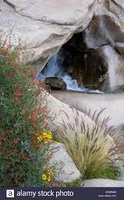 wildflowers in borrego palm canyon anza borrego desert state park