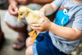 the best duck breeds for beginners weed u0027em u0026 reap