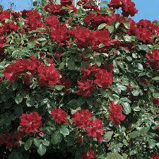 don juan climbing rose from wayside gardens