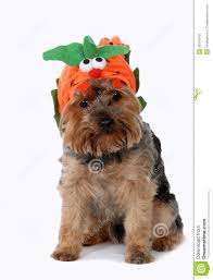 yorkie halloween costumes dog wearing halloween costume stock photography image 26797942