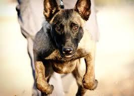 belgian sheepdog tattoo 734 best belgian malinois dutch shepherd images on pinterest