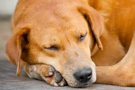Causes Of Sudden Blindness In Dogs Injury In Dogs Symptoms Causes Diagnosis Treatment Recovery