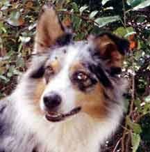 australian shepherd ear types shalako australian shepherd illustrated breed standard ear faults