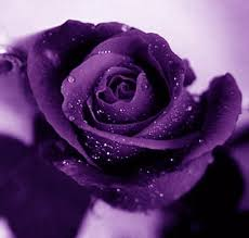 purple roses learn how to make simple colored and rainbow roses