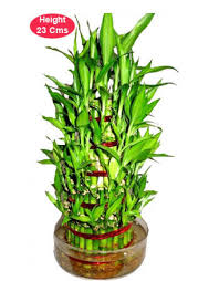 indoor plants india buy 5 layer lucky bamboo online in india feng shui 5 layer lucky