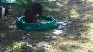 australian shepherd like water border collie vs aussie shepherd youtube