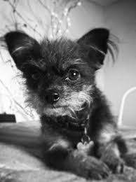 affenpinscher skin problems little hairy dog toby chipoo like pinterest dog pup and animal