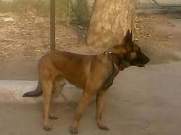 belgian shepherd dog price in pakistan nsg dog u0027rocket u0027 gets commendation for u0027raw courage u0027 during