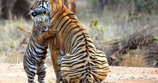see amazing moment tiger cub cuddles its after she misses out on