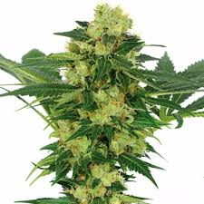 Indore Plants White Widow Fem Usa Shipping Ilgm