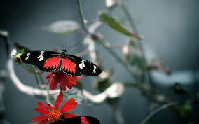 butterfly wallpapers hd wallpapers