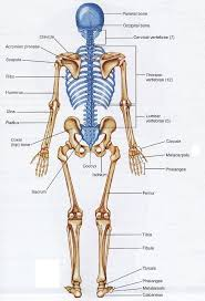 Anatomy Of Human Body Bones Human Body Diagram Bones 25 Best Ideas About Anatomy Bones On