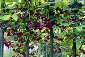 native plants passionflower vine grows how to grow the chocolate vine akebia quinata