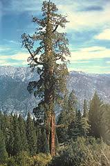 list of largest sequoias