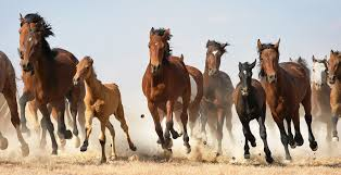 Donald Trump Houses Wild Horses Could Be Euthanized Under Donald Trump U0027s New Budget