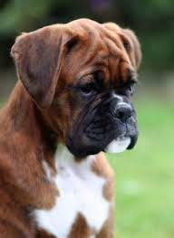 boxer dog youtube adorable boxer puppies for more cute puppies check out our