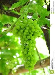 green grape on trellis stock photo image of dresser 15091146