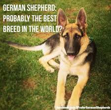 belgian malinois quotes 1069 best german shepherd love images on pinterest german