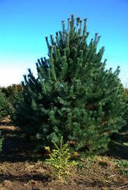 a little christmas tree that one day will garden walk garden talk