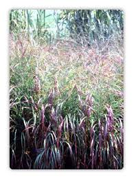 296 best ornamental grasses images on garden grass