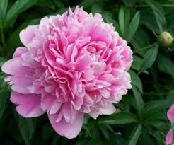 wholesale peonies peonies and wholesale florist
