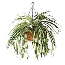 Spider Plant Double Spider Plant 50cm Hanging Basket With 360 Leaves