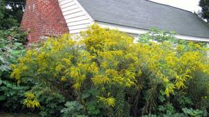 North Carolina how fast does a sneeze travel images Don 39 t sneeze at goldenrod southern living jpg