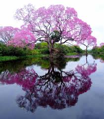 the pristine piuva tree of brazil all that is interesting