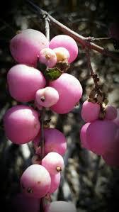 berri native plants 1109 best meyveler sebzeler images on pinterest fruit fruit