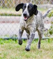 bluetick coonhound pitbull mix adopt marco on bluetick coonhound dog and animal