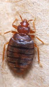 Bed Bug Bed Bugs On The Rise For Las Vegas Families Pest Control And
