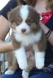4 week old australian shepherd my new mini aussie puppy peaches i pick her up this week my new