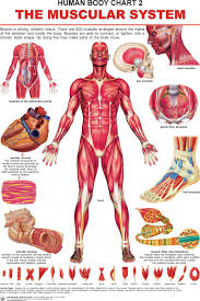 anatomy coloring pages muscular system more info