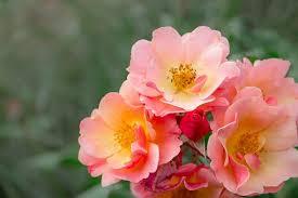 imagenes con flores azules dia de la maestra rosas rojas imágenes pixabay descarga imágenes gratis