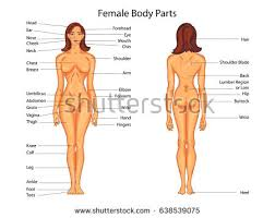 Female Anatomy Image Female Body Back Surface Anatomy Human Stock Vector 339356828
