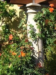 Fragrant Climbing Plant - aloha to my mediterranean garden u2026hello maui eden makers blog