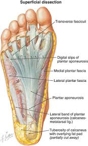 Foot Anatomy Nerves Foot And Ankle Musculoskeletal Key